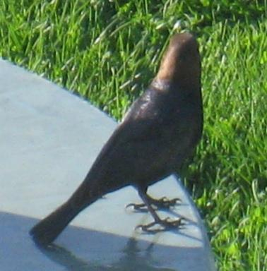 COWBIRD, Brown-Headed