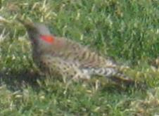 Common FLICKER (Yellow-Shafted)