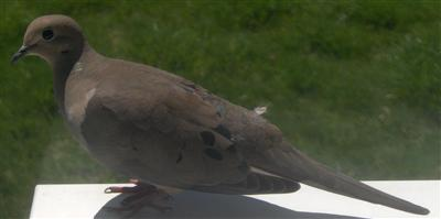 Mourning Doves and Sparrow